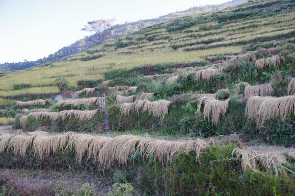 Einige Reisfelder sind schon abgeerntet