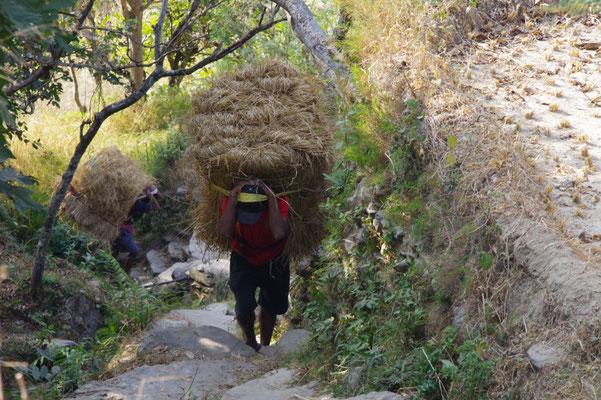 Das Reisstroh muss oft weit getragen werden