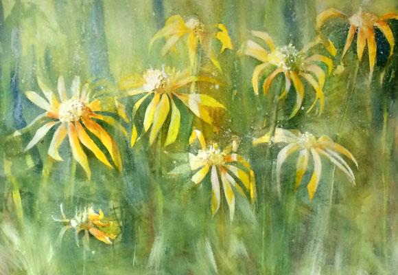 Marguerites jaunes  Yellosw Daisies