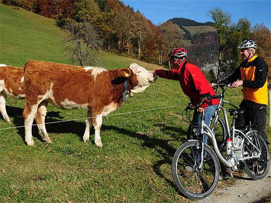 Begegnung mit Simmentaler Kühen