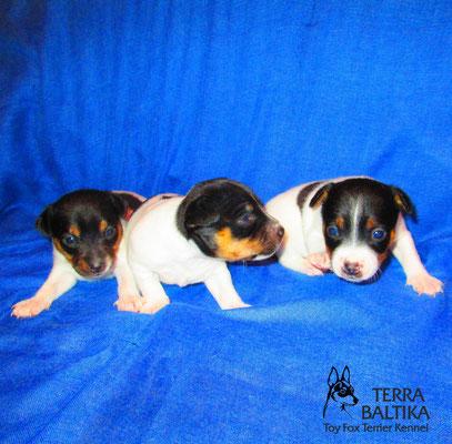 Ф-помет той-фокстерьеров в питомнике TERRA BALTIKA На фото щенкам 19 дней