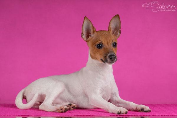 той-фокстерьер, амертой, терра балтика, toy fox terrier, terra baltika, puppies, kennel, маленькая собака, мини-порода, маленькая порода собак, собачка на маленьких ножках, американский той-фокстерьер, той-фокс, american toy foxterrier