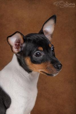 американский той фокстерьер купить в москве, американский той фокстерьер щенок, питомник американского фокстерьера, toy fox terrier, питомник той фокстерьеров в москве, стандарт американского той фокстерьера