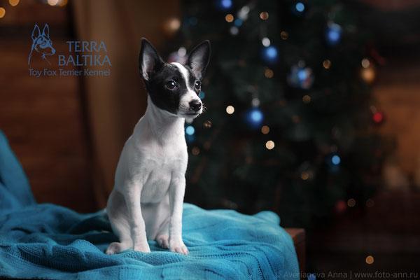 Той-фокстерьер Mirro's TerraBaltika Dori Prada, на фото 2,5 месяца