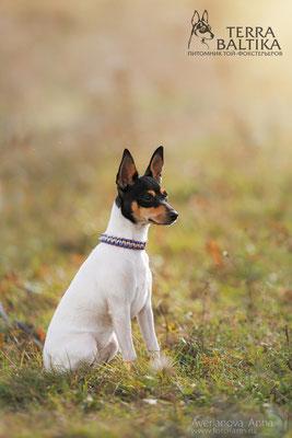 Той-фокстерьер Ласковый Лучик Женская Интуиция (Тина), на фото щенку 6 мес.