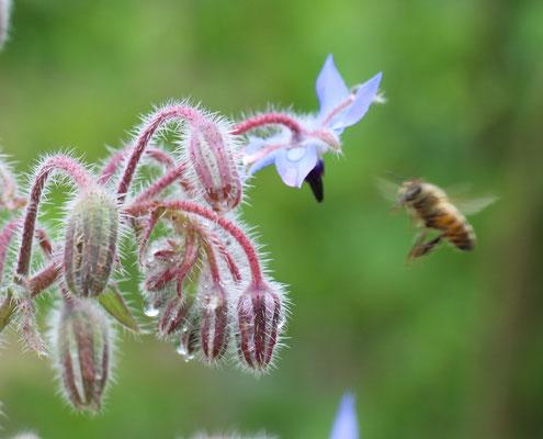 Plante mellifere - Bourrache
