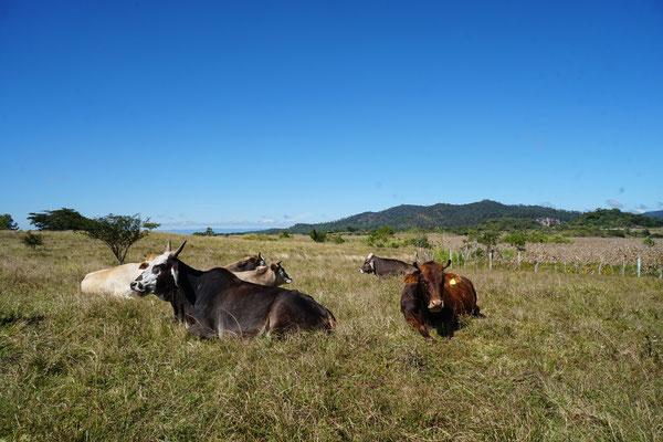Auf dem Weg zur Ruine liefen wir an zig Kühen vorbei.