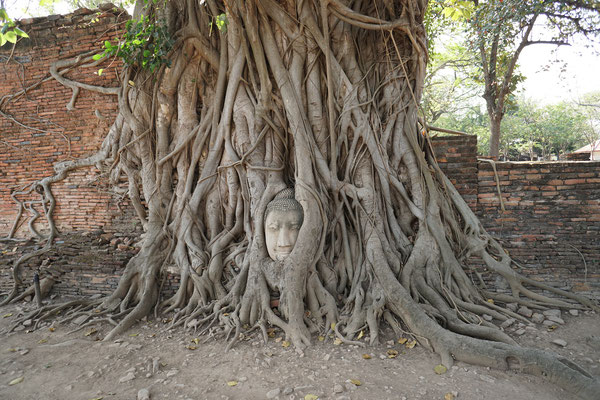 stone Buddha head in tree