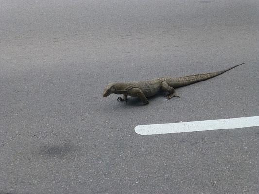 Achtung! Waran quert die Straße!