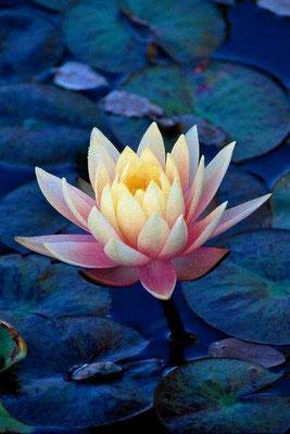 la symbolique du lotus en chine site de massonregis. Black Bedroom Furniture Sets. Home Design Ideas