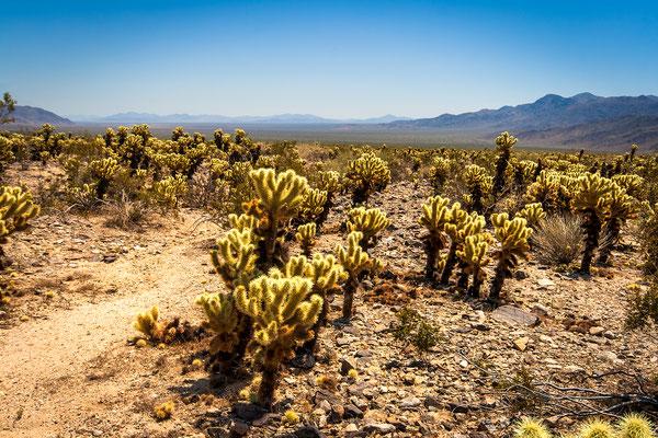 Joshua Tree Park: Cholla Cactus Gardens