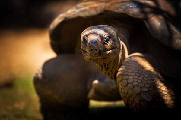 Rivière Des Anguilles: La Vanille Nature Park: Aldabra Giant Tortoise