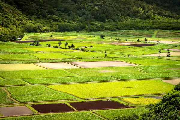 Kauai: Hanalei Valley: Taro Fields