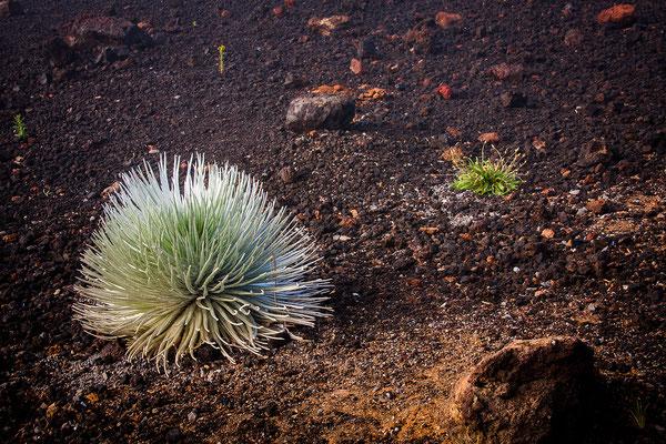 Maui: Haleakala National Park: Ahinahina/Silversword