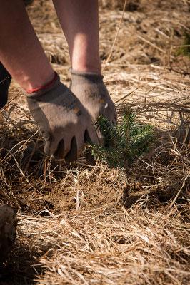 Christbaumpflanzen setzen