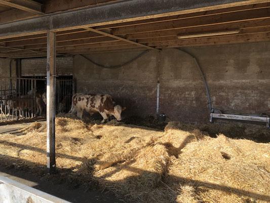 Rinder Strohhaltung Weidehaltung