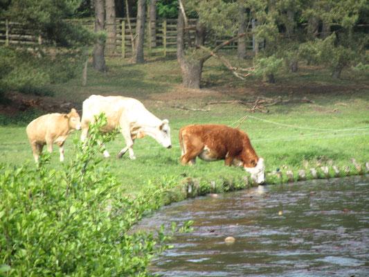 Kühe am Kanal