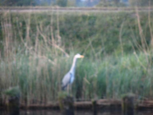 Ein Fischreier am Ufer der Uecker