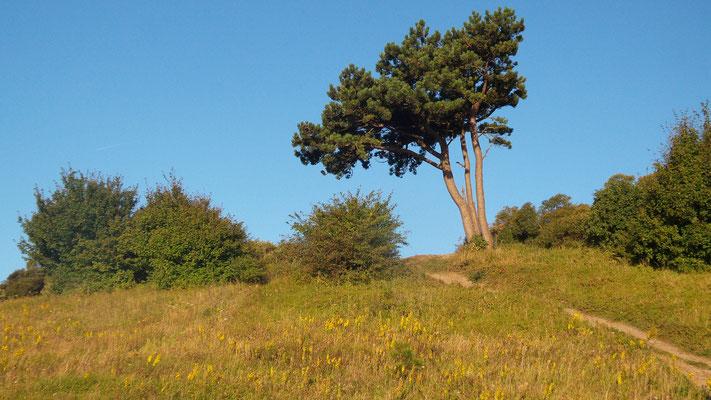 Baum auf Hiddensee
