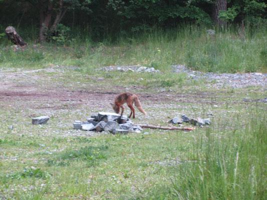 Fuchs an der Havel