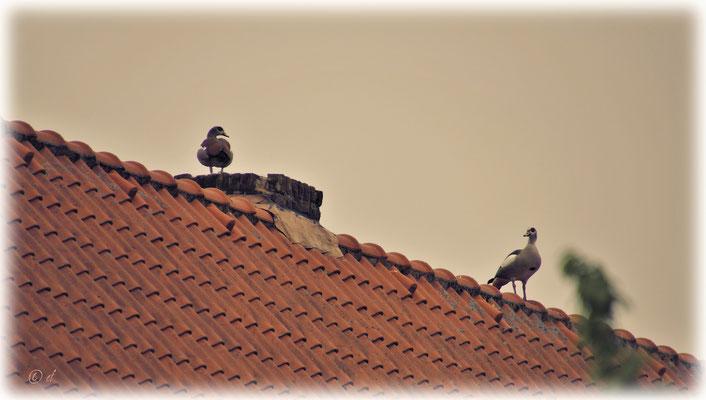 Auf dem Dach der Zehntscheune laut schnatternde Nilgänse