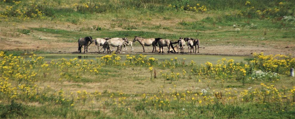 Die wilden Pferde bei Maaseik