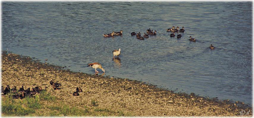 Wasservögel an der Maas