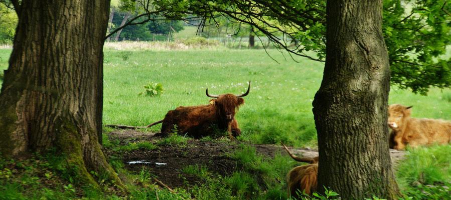 Hier lebt eine Gruppe von Highland Rindern