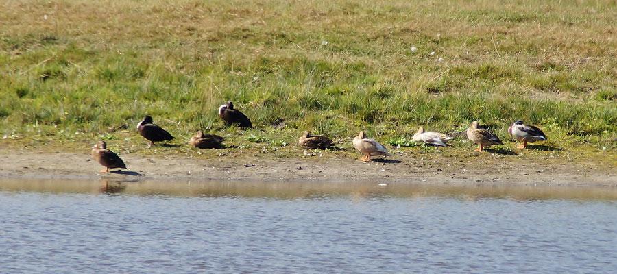 Stockenten ruhen an einem Teich in Montfort