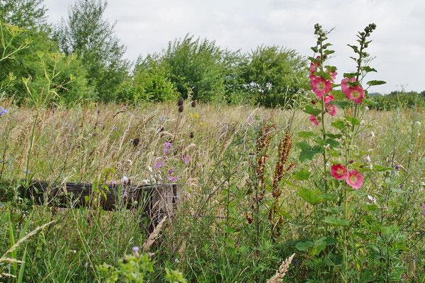 Rechts: feinblättrige Stockrosen