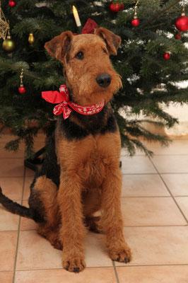 Weihnachtsgrüße 2014 von Carlo vom Juratal (Sohn unserer Anica aus dem C-Wurf) im Dezember 2014