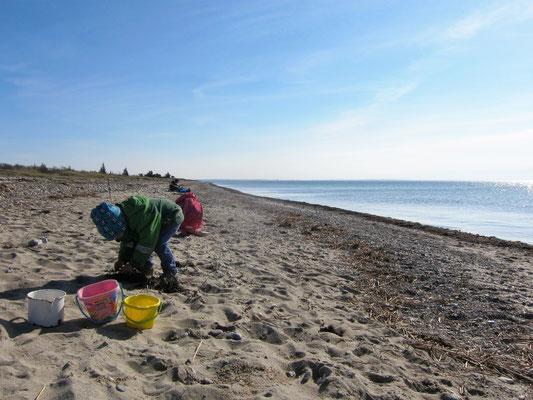 Muscheln sammeln am Strand von Wallnau