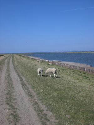 Schafe auf dem Deich von Westermarkelsdorf