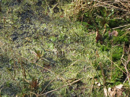 Frosch im Teich im Wasservogelreservat Wallnau