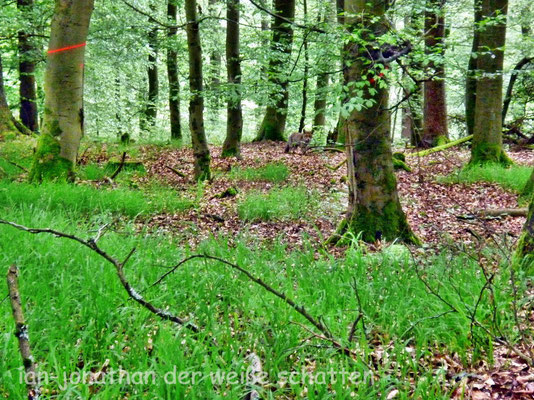 ein Fuchs im Unterholz