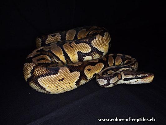 Königspython - Python regius (Yellowbelly-Pastel)