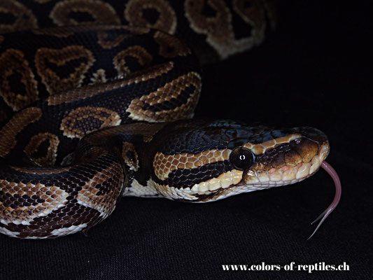 Königspython - Python regius (Gravel)