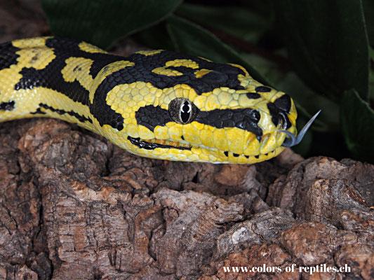 Jungle Teppichpython - Morelia spilota cheynei