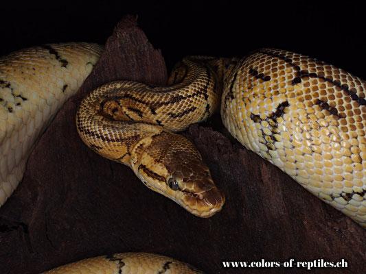Königspython - Python regius (Lemonblast)
