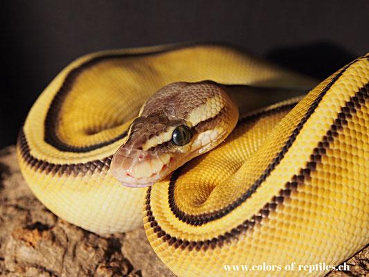 Königspython - Python regius (Butter-Pastel-Genetic stripe)