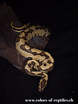 Königspython - Python regius (Tiger)