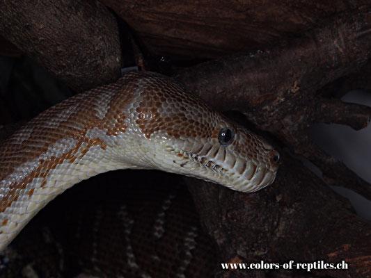Zentralaustralischer Teppichpython - Morelia bredli