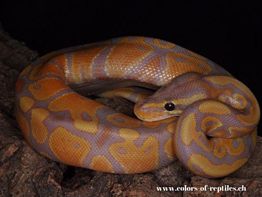 Königspython - Python regius (Banana)
