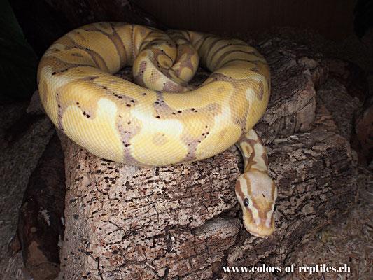 Königspython - Python regius (Banana-Pastel)