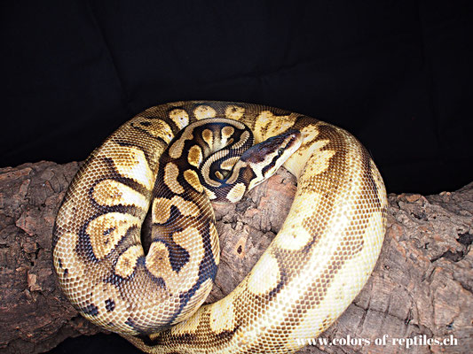 Königspython - Python regius (Calico-Pastel)