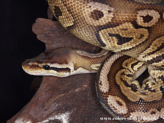 Königspython - Python regius (Pewter)