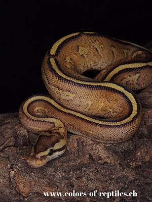 Königspython - Python regius (Super stripe)