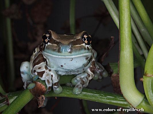 Baumhöhlen Krötenlaubfrosch - Trachycephalus resinifictrix