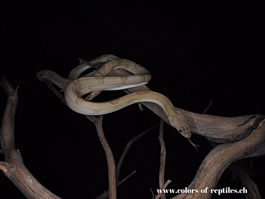 Rattennatter - Bogerthophis subocularis