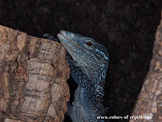 Blauer Baumwaran - Varanus macraei